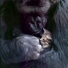 Koko the gorilla. She is a gorilla that they taught to speak sign language. She asked her keeper for a kitten for her birthday one year. She got the kitten and named it All Ball. Koko treated Ball as her baby. SOOOOO cute. LOVE her so much!