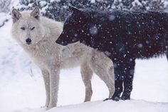 Wolves!!! things-for-my-wall