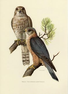 Vintage Bird Illustration, Illustration Artists, Merlin Bird, Drawing Artist, Painting & Drawing, Raptor Bird Of Prey, Color Pencil Sketch, Natural Form Art, Watercolor Paintings