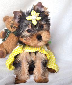 Diana. Yorkie Puppy.   www.tinylittlepuppies.com https://www.facebook.com/TinyLittlePuppies
