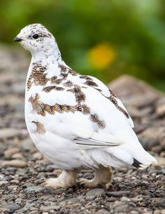 Rock Ptarmigan  (Lagopus muta), Arctic and subarctic, photo by Jónína G. Óskarsdóttir‎