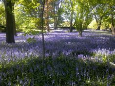 Carpets of bluebells are a particularly British phenomenon. The flowers colonized Britain late in the ice age, before the seas rose; the flowers thereby avoided competition with many other European woodland plants which never naturally reached the Sceptred Isle.