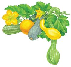 All About Growing Summer Squash - Organic Gardening - MOTHER EARTH NEWS