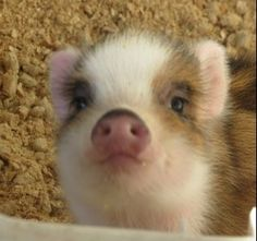 Adorable piggie...