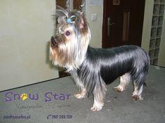 Torres - Psi Fryzjer Snow Star on Psi Fryzjer Toruń - Salon Psiej Urody Snow Star w Toruniu  http://psiafryzurka.pl/social-gallery/torres