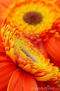Flower background - orange yellow gerber daisies macro