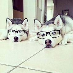 """Hipster Huskies."""