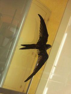vencejo unicolor-Plain Swift (Apus unicolor)