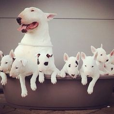 Proud mama English Bull Terrier Puppy Dog #bullterrier #bullie #ebt