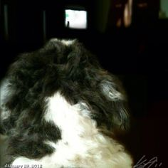 忙しいらしい… Watching #dogwhisperer #shihtzu #dog #philippines