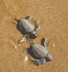 Turtles hatching - Galapagos Island