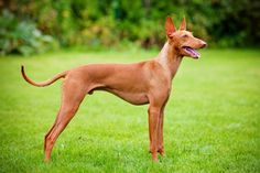 A Rare and Beautiful Hound - The Cirneco dell'Etna | Pets4Homes