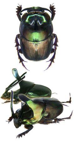 Onthophagus mohuoti