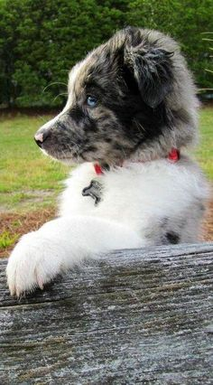 Australian Shepherd Puppy So attentive. Australian Shepherd Puppies, Aussie Puppies, Australian Shepherd Dogs, Cute Puppies, Cute Dogs, Dogs And Puppies, Doggies, Aussie Shepherd, Beautiful Dogs
