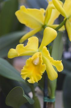 Bright yellow cattleya orchid