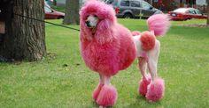 roze poedel - Google zoeken