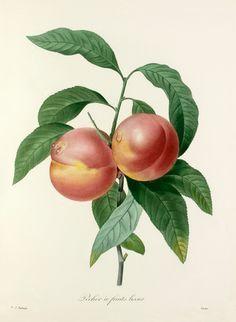 Pierre Joseph Redouté -- Pêcher à fruits lisses -- Pierre-Joseph Redouté -- Artists -- RHS Prints