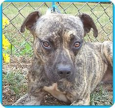 Act quickly to adopt CLYDE - see also BONNIE. Pets at this Shelter may be held for only a short time.Marietta, GA - American Pit Bull Terrier/Retriever (Unknown Type) Mix. Meet CLYDE - see also BONNIE a Dog for Adoption.