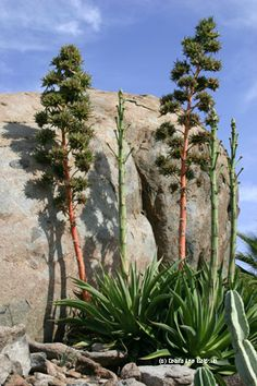 Agave desmettiana bloom stalks turn from green to red as they mature. Most of the agaves in this clump decided to bloom at once.