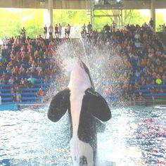Shamu at SeaWorld San Antonio.