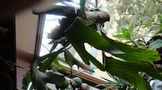 Staghorn in a window