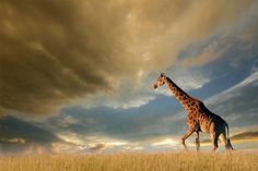 A giraffe walking on the African plains against a dramatic sky. Free art print of Giraffe on African plains. Photography Gear, Wildlife Photography, Animal Photography, Wild Life, National Geographic, Best Family Beaches, Family Vacations, Animals And Pets, Cute Animals