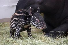 Extraordinary measures at Denver Zoo save life of tapir baby - coolest animal ever
