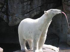 Anteater-polar bear hybrid