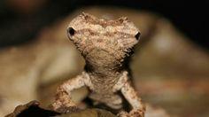 Brookesia micra: le plus petit caméléon du monde (2 â 3 cm pour un spécimen adulte).