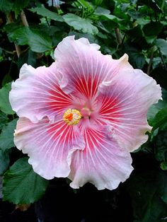 Hibiscus Eye of the Storm