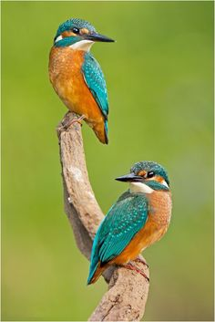 1000 Piece Jigsaw Puzzle (other products available) - Kingfisher -Alcedo atthis-, young birds, Middle Elbe, Saxony-Anhalt, Germany - Image supplied by Fine Art Storehouse - 1000 Piece Jigsaw Puzzle made to order in the UK Funny Birds, Cute Birds, Pretty Birds, Common Kingfisher, Kingfisher Bird, Kingfisher Tattoo, Exotic Birds, Colorful Birds, Tropical Birds
