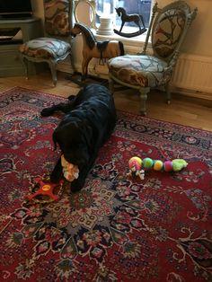 New toys . Black Labrador, New Toys, Beautiful Dogs, Decor, Cute Dogs, Black Labs, Decoration, Decorating, Deco