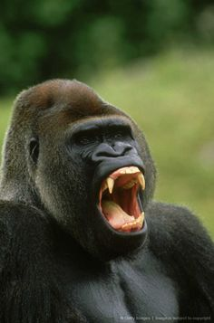 Image detail for -gorilla, gorilla gorilla, male