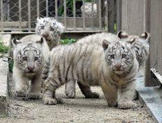 希少なホワイトタイガー4頭公開へ、東武動物公園