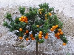 Growing Citrus Trees in Pots