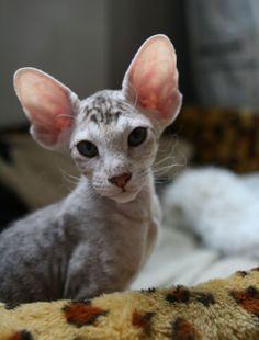 ♥CG♥ 131 Peterbald Kitten