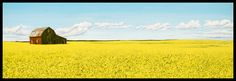 Peter Gough Gallery - A Sea of Yellow