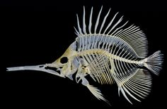 Butterfly fish skeleton. Longnose butterflyfish, Forcipiger longirostris