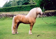 Palomino stallion Isvind- North Swedish horse (nordsvensk)   www.goldenrabbitsaddlery.com