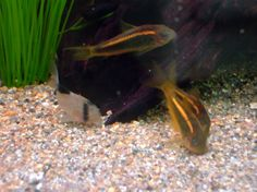 Corry Catfish are cool! on Pinterest Catfish, Tropical Fish and Fish