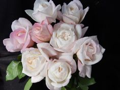 Amazing Grace Rose Myriam Rose Hybrid Tea Rose   Very tough rose with flowers ranging from pink to white depending on ...