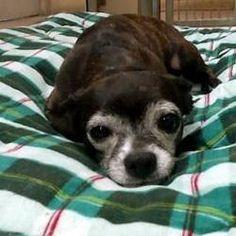 Phoenix, Arizona - Chihuahua. Meet Kit Kat, a for adoption. https://www.adoptapet.com/pet/20325946-phoenix-arizona-chihuahua-mix