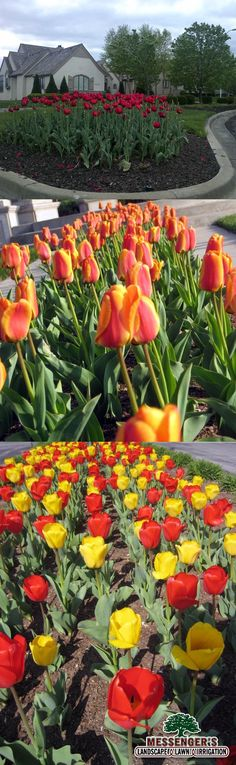 Tulips and Colors | #flowers #outdoors #spring #landscaping