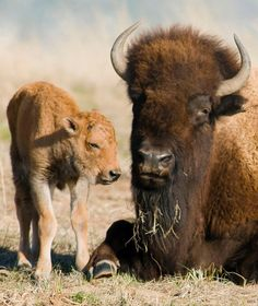 A bison cow gives birth to a single reddish-brown calf in the spring. For the first two months of life, calves are lighter in color than mature bison. One very rare condition is the white buffalo, in which the calf turns entirely white. Buffalo S, Buffalo Animal, Animals And Pets, Baby Animals, Cute Animals, Animal Babies, Wild Animals, Beautiful Creatures, Animals Beautiful