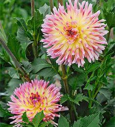 Dahlia, Karma Series 'Sangria' - great cut flowers