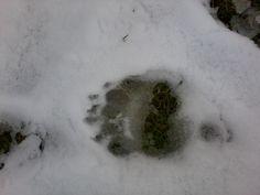 Bear footstep