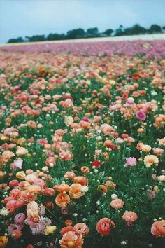 """""""What a beautiful sight; a field of swaying peonies"""""""