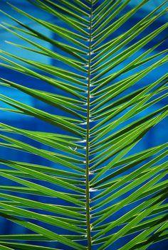 frond | blue green