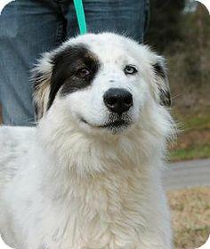 Prattville, AL - Australian Shepherd/Husky Mix. Meet Babette 19915 a Dog for Adoption.