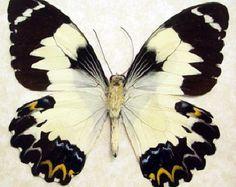 Mariposa hembra de ópalo de fuego real enmarcado Anaea